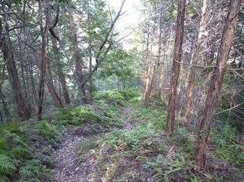 P1150252ヒノキ植林尾根沿いのシダ道.JPG